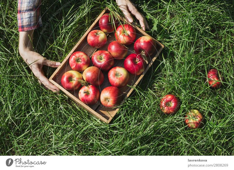 Woman's hands holding wooden box with red apples Farm Apple Box Wood Hold Hand Checkered Autumn Sun Plant Harvest Fresh Juicy Organic Agriculture Seasons Garden