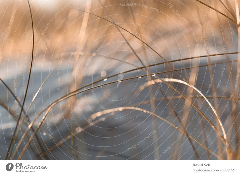 Dune grass with drops of water Environment Nature Landscape Plant Drops of water Beautiful weather Marram grass Coast Baltic Sea Wet Warmth Orange Calm