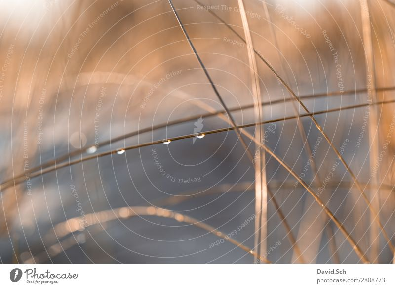 Dune grass with drops of water Environment Nature Landscape Plant Drops of water Beautiful weather Marram grass Coast Baltic Sea Orange Calm Wet Warmth