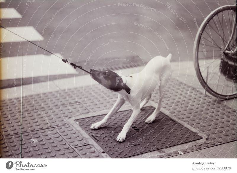 Dog pulls on leash Animal 1 Argument Rope Zebra crossing Resist Black & white photo Exterior shot Deserted Day
