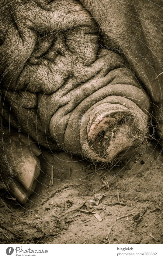 mess Zoo Swine 1 Animal Lie Sleep Hideous Brown Contentment Serene Indifferent Comfortable Wrinkles Colour photo Subdued colour Exterior shot Deserted