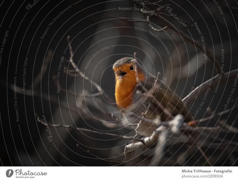 Singing robin Nature Animal Sunlight Beautiful weather Tree Twigs and branches Wild animal Bird Animal face Wing Robin redbreast Beak Eyes Feather 1 Observe