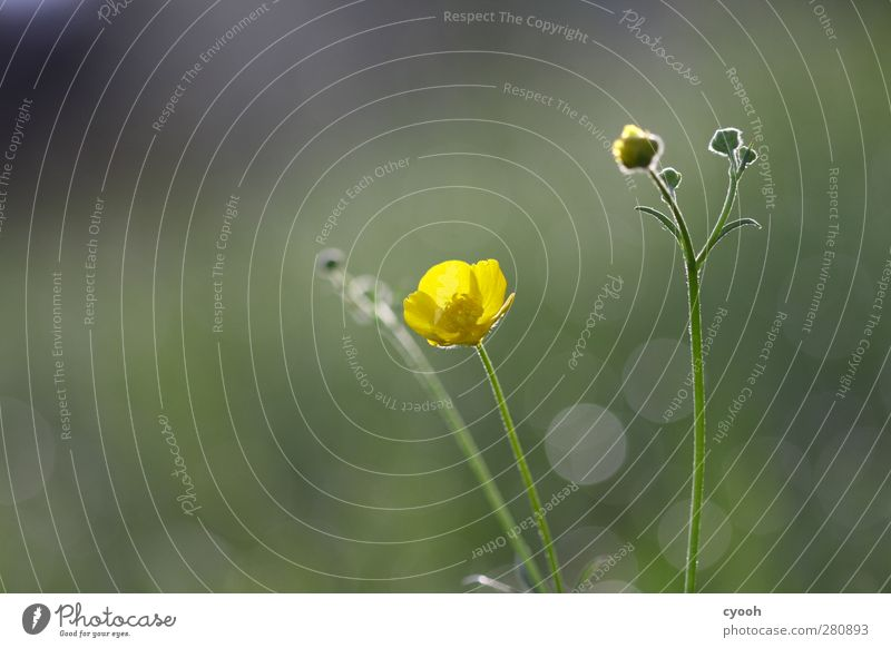 colour stain Nature Plant Spring Summer Flower Blossom Yellow Crowfoot Blur Bud Blossoming Illuminate Calm Balance Life Vigor Smooth Beautiful Detail Meadow