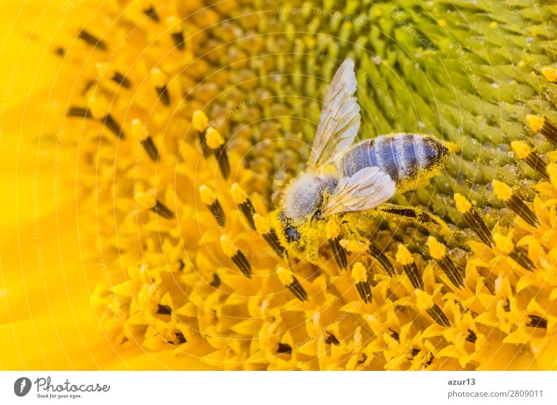 Honey bee covered with yellow pollen collecting sunflower nectar Summer Environment Nature Animal Sun Spring Climate Climate change Weather Beautiful weather
