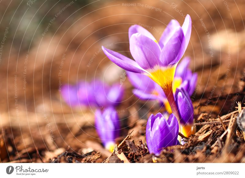 spring Nature Plant Spring Beautiful weather Flower Blossom Garden Park Blossoming Fresh Natural New Yellow Violet Spring fever Anticipation Crocus Small
