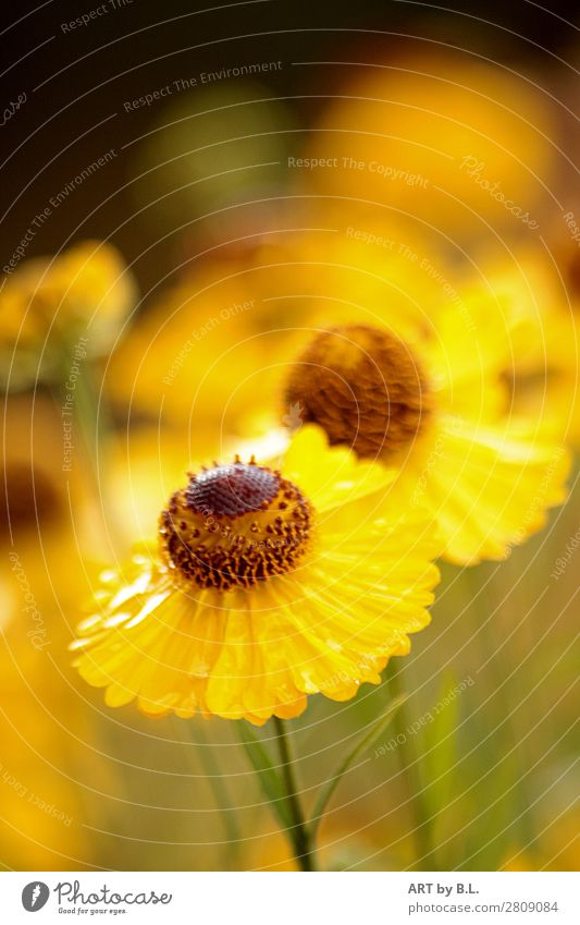 sun bride Nature Spring Summer Plant Flower Blossom Garden Moody Protection Warm-heartedness Colour photo Exterior shot Detail Copy Space top Morning Day Blur