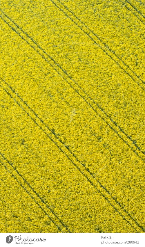 precision Agriculture Forestry Environment Spring Beautiful weather Plant Blossom Agricultural crop Canola Canola field Oilseed rape cultivation Field Simple