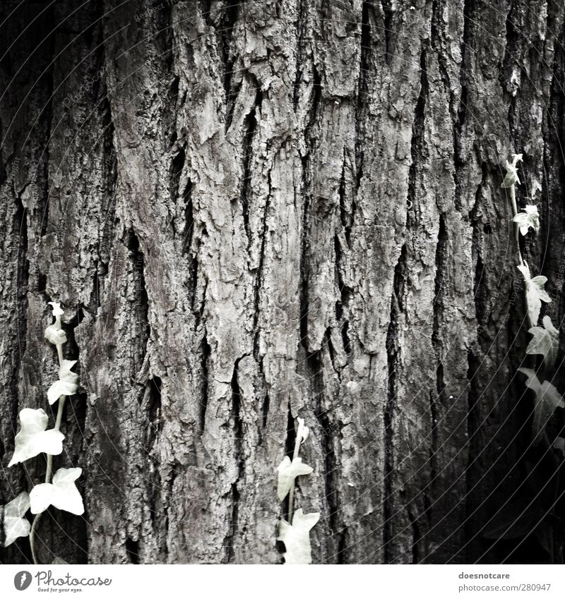 old. Nature Plant Old Black & white photo Tree Tree trunk Tree bark Senior citizen Wrinkle Ivy Tendril Vignetting Structures and shapes Growth Life Age