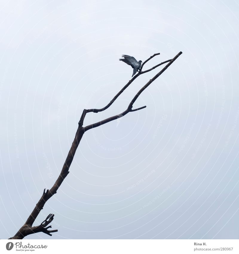 landing Sky Bad weather Animal Bird Pigeon 1 Flying Tall Natural Above Gray Beginning Movement Branch Twigs and branches Come Subdued colour Exterior shot
