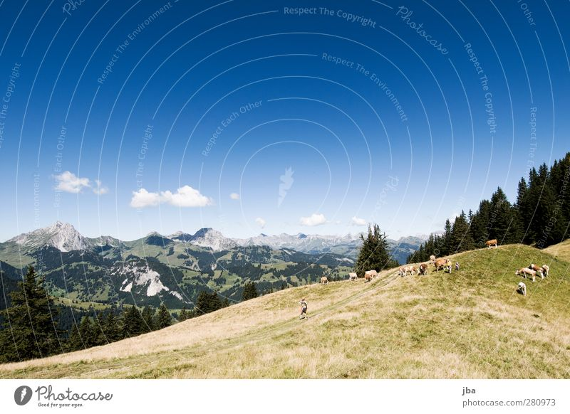 In the Alps Life Contentment Calm Trip Freedom Summer Mountain Hiking Nature Landscape Clouds Beautiful weather Grass Fir tree Rock Peak Saanenland Footpath