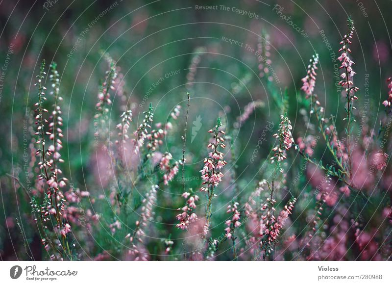 man's photo Nature Plant Kitsch Mountain heather broom heathen Heathland Heather family Colour photo Blur