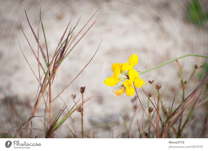 yellow Environment Nature Plant Earth Sand Flower Bushes Blossom Wild plant Coast Lakeside River bank Beach Yellow Colour photo Exterior shot Close-up Detail