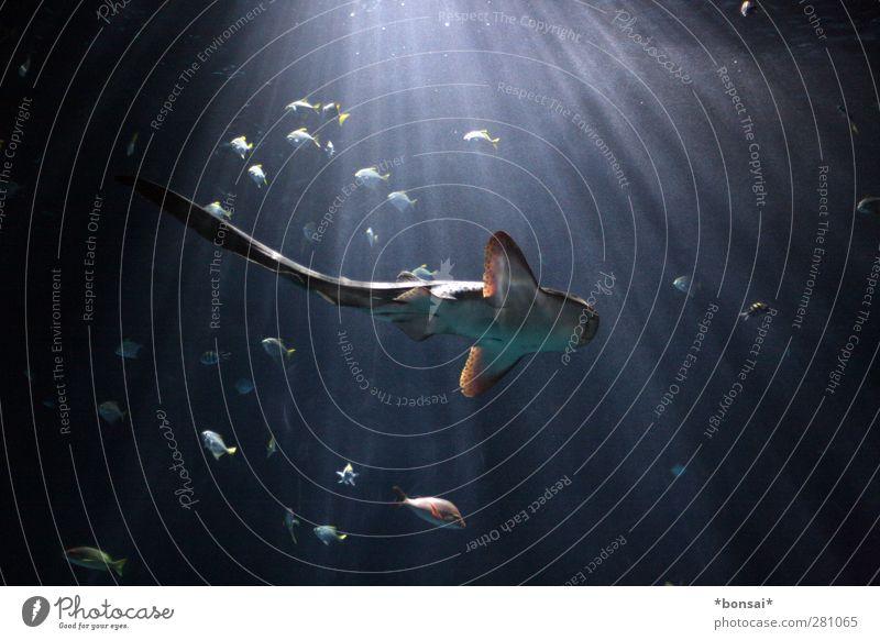 hover Ocean Water Animal Aquarium Shark zebra shark Fish Group of animals Movement Swimming & Bathing Esthetic Threat Dark Elegant Large Cold Natural Blue Power