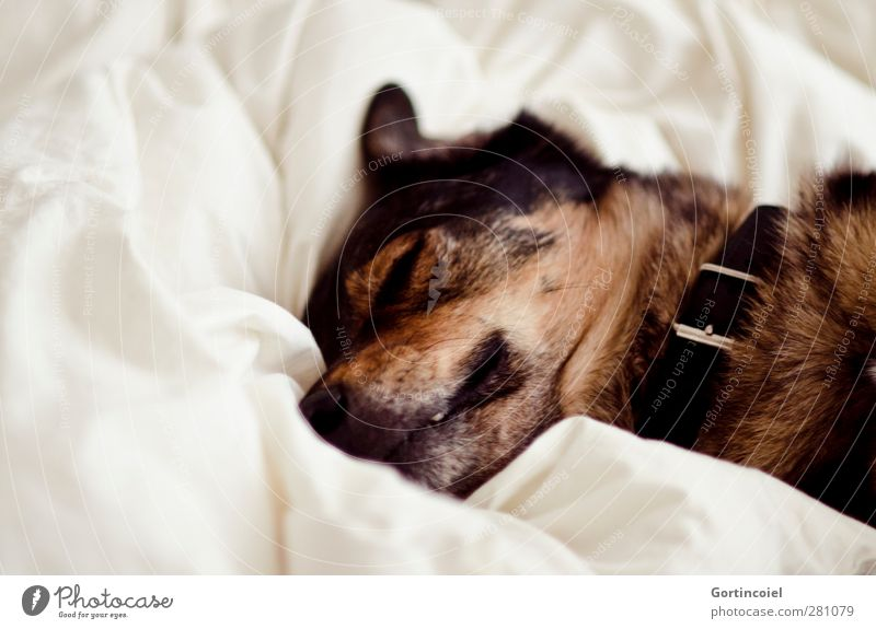 Dog White Animal Brown Sleep Pelt Bedclothes Animal face Fatigue Pet Snout Sheet Wolf Dog collar Goof off Crossbreed