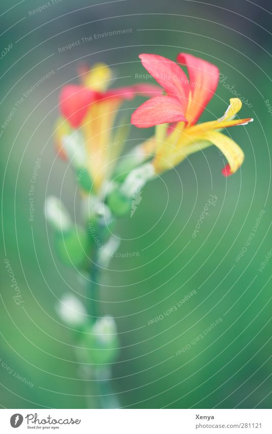 Red Yellow Green Plant Flower Orchid Exotic Feminine Beautiful Colour Delicate Exterior shot Detail Macro (Extreme close-up) Deserted Copy Space bottom Day Blur