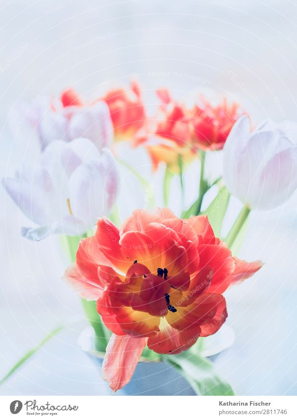 Red and white flowers Tulip species Bouquet of flowers Art Nature Plant Spring Summer Autumn Winter Flower Leaf Blossom Blossoming Illuminate Growth Esthetic