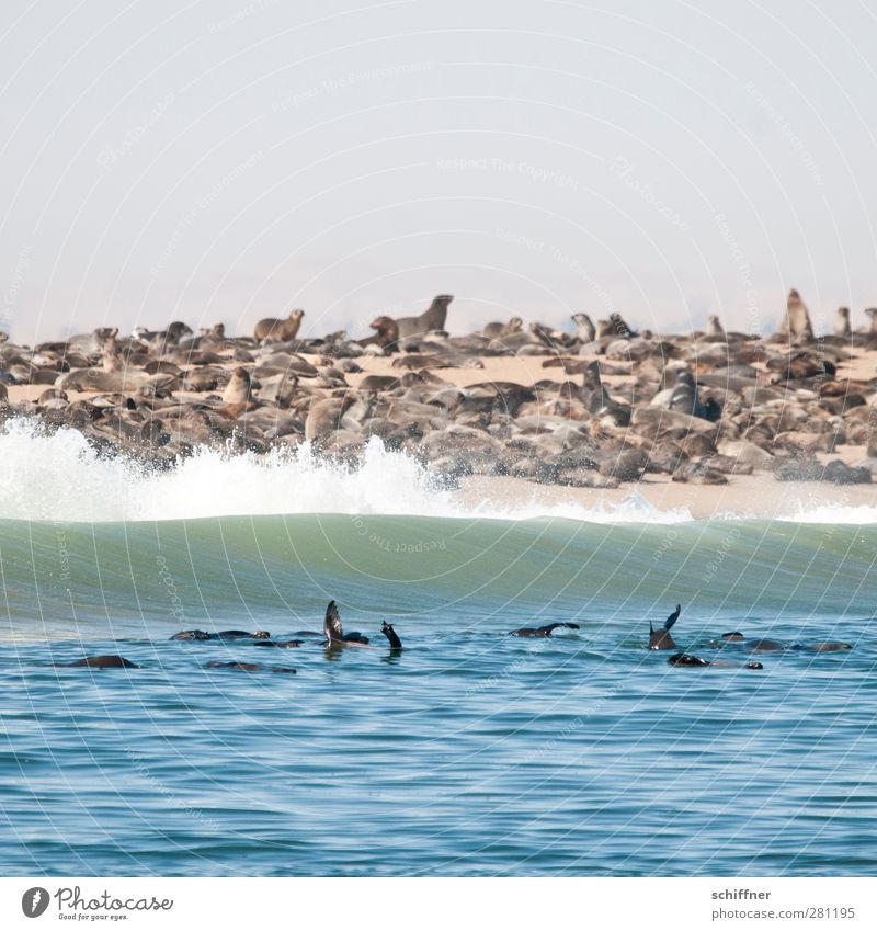 Shit, forgetting to put towel down Animal Wild animal Group of animals Herd Pack Communicate Wave Ocean Coast Beach Waves Overpopulated Many White crest Narrow