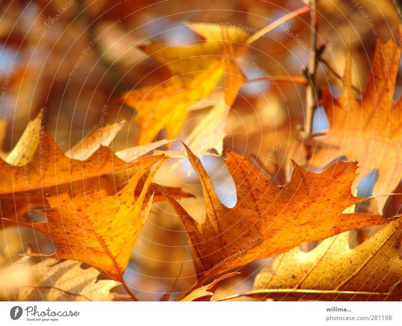 autumnal Nature Autumn Beautiful weather Leaf Oak tree Oak leaf red oak Illuminate Brown Yellow Gold Orange Autumnal Autumn leaves Autumnal colours Leaf canopy