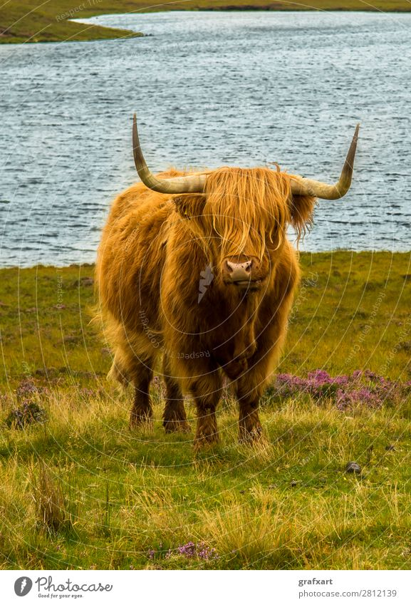 Highland cattle in picturesque landscape in Scotland Cattle Bull Farm Farmer Pelt Great Britain Heather family Herd Highlands Antlers Cow Coast Rural Landscape