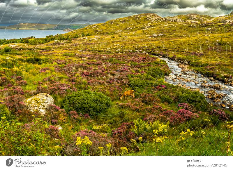 Coastal landscape with deer and river in Scotland Atlantic Ocean Brook biodiversity River Great Britain Heather family Highlands Deer Hind Idyll Hunting