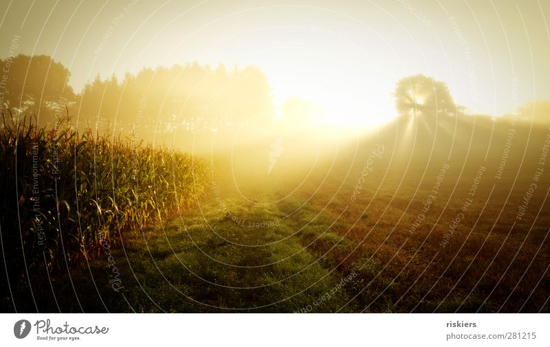golden light Environment Nature Landscape Sun Sunrise Sunset Sunlight Summer Autumn Fog Flower Meadow Field Idyll Dream Maize field Colour photo Exterior shot