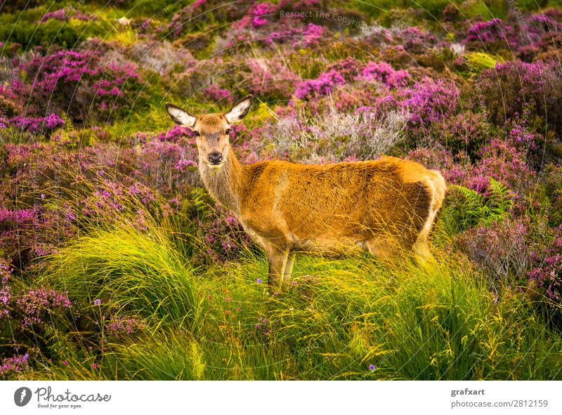Deer cow in the Highlands of Scotland biodiversity Flower Great Britain habitat Heather family Hind Hunting Landscape Picturesque Sustainability Nature