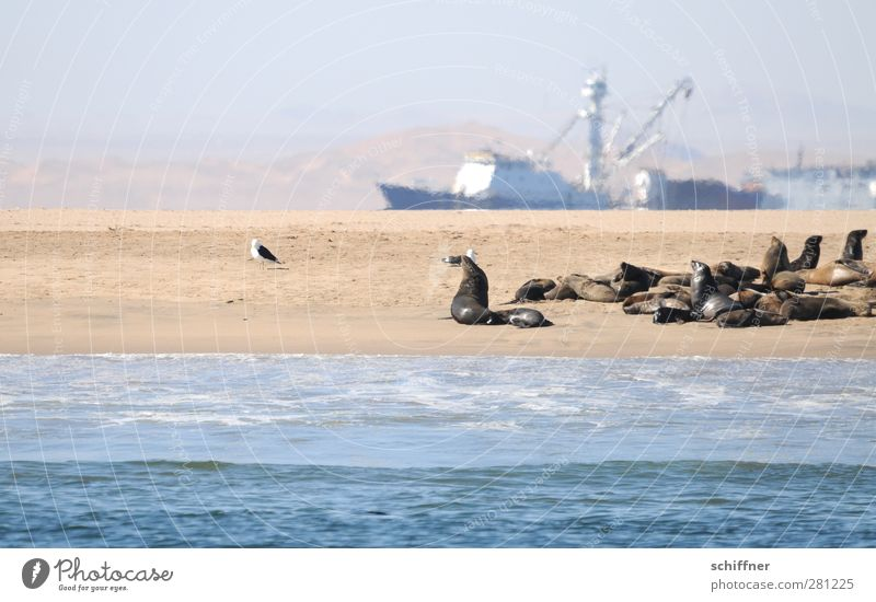 Ship was smarter Landscape Coast Beach Ocean Desert Navigation Fishing boat Trawler Animal Wild animal Group of animals Herd Pack Exceptional Seals Seal colony