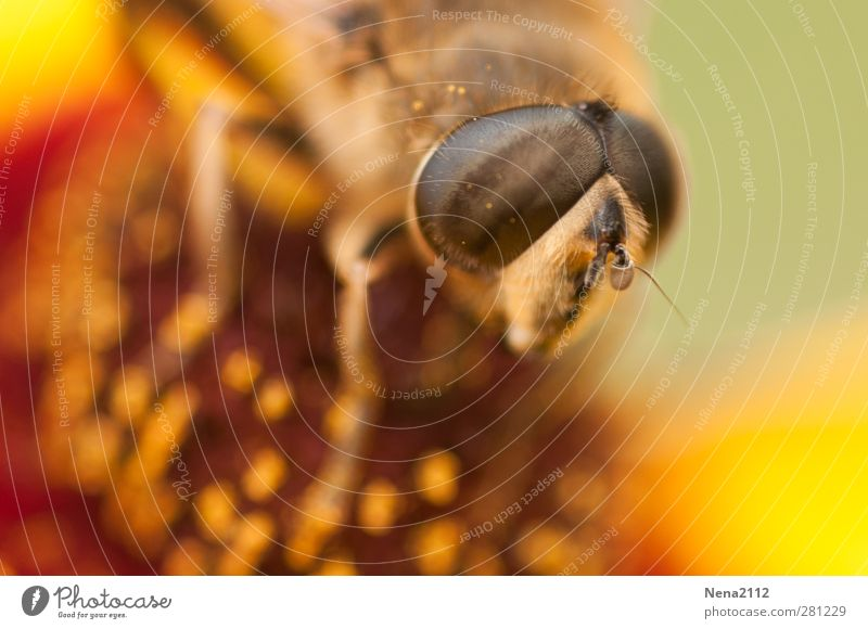 Nature Summer Plant Flower Animal Environment Yellow Meadow Eyes Blossom Brown Orange Gold Fly Beautiful weather Bee