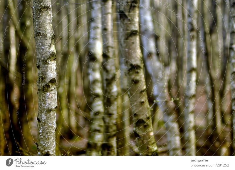 birches Environment Nature Landscape Plant Tree Birch tree Birch wood Birch bark Forest Growth Esthetic Natural Beautiful Moody Colour photo Exterior shot