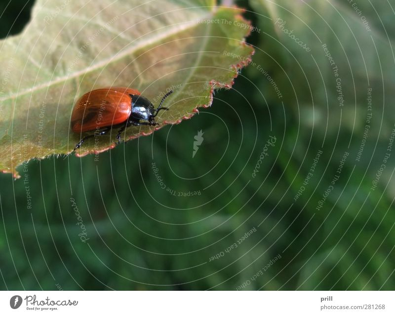 Nature Red Animal Leaf Environment Wild animal Bushes Insect Copy Space Environmental protection Beetle Error Articulate animals Two animals