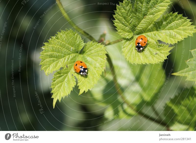 twins Animal Spring Plant Leaf Beetle 2 Pair of animals Spring fever Colour photo Exterior shot Day Shallow depth of field