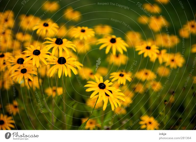 Nature Green Beautiful Summer Plant Flower Black Yellow Blossom Garden Growth Idyll Many Blossoming Long Thin