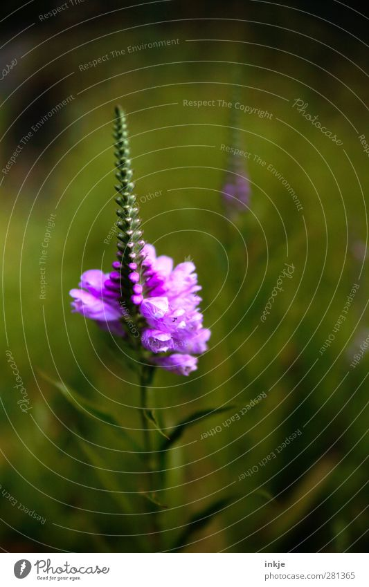 Nature Green Beautiful Summer Plant Flower Leaf Black Blossom Natural Growth Change Transience Blossoming Violet Long