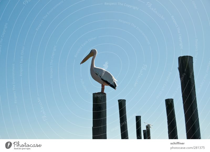 PlaceHolder Sky Cloudless sky Animal Wild animal Bird 1 Stand Pelican Tree trunk Wooden stake Overview Review Walvis bay Namibia Individual Exterior shot