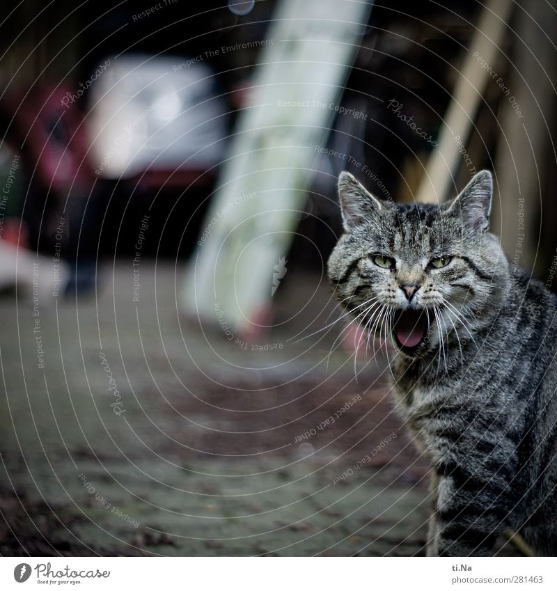 You got me. You got me. Spring Summer Garden Pet Cat Domestic cat 1 Animal Looking Astute Funny Wild Yawn Colour photo Subdued colour Exterior shot Close-up