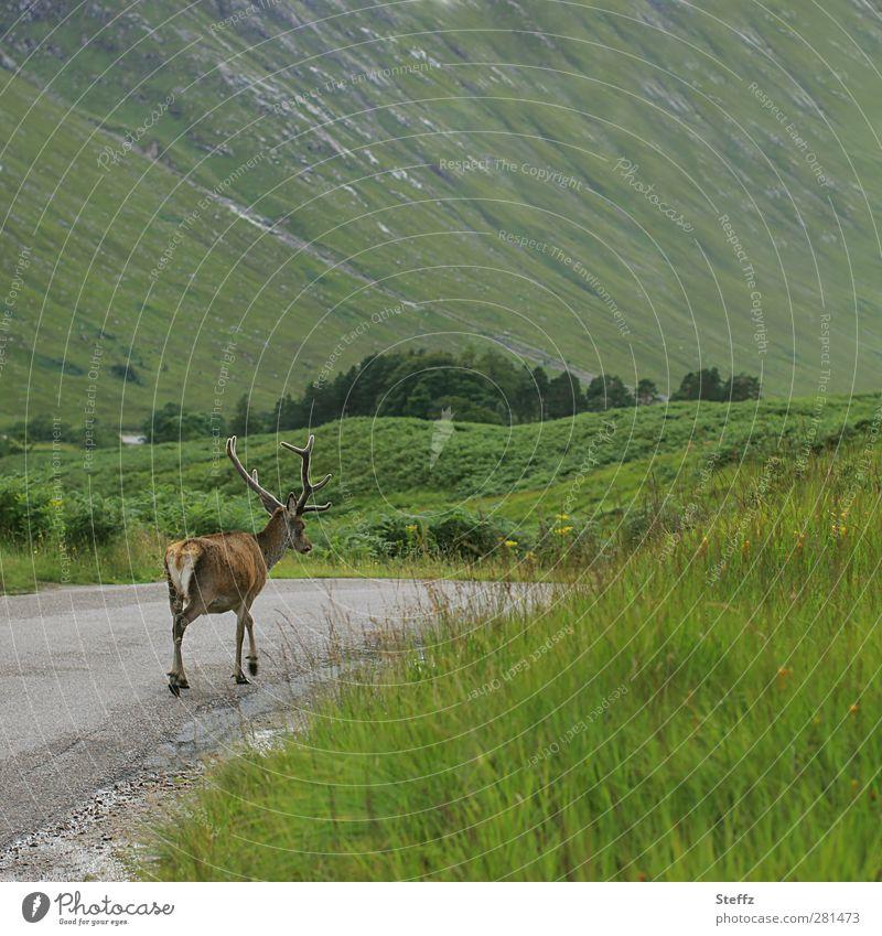 Crooked things | No desire to shoot Scotland stag Buck Red deer Summer in Scotland Nordic Nordic romanticism green hills Scottish Scottish summer Glen Coe