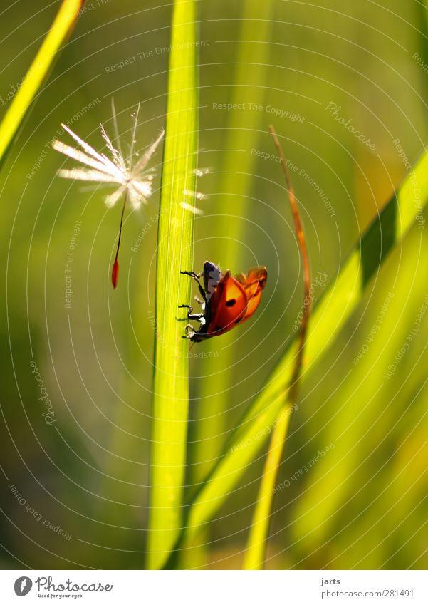 Nature Summer Plant Animal Calm Environment Meadow Grass Blossom Flying Wild animal Walking Idyll Dandelion Beetle Ladybird