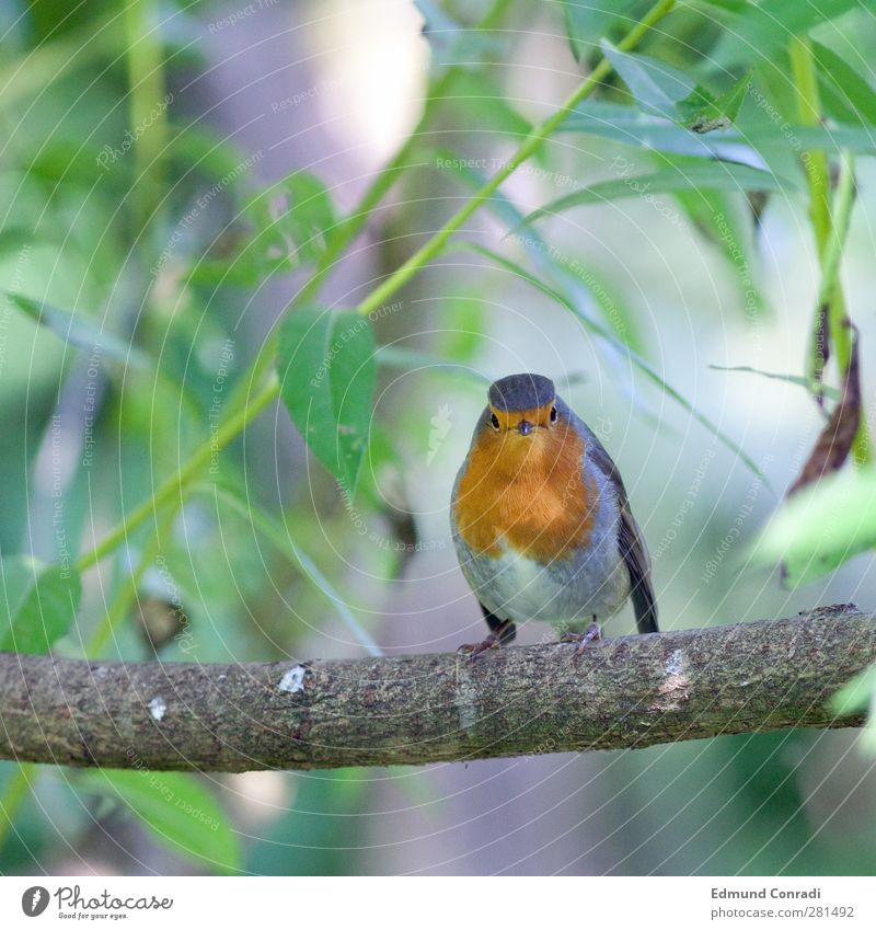2 eyes in eye with curious robin Nature Tree Chestnut Bird Robin redbreast 1 Animal To feed Compassion Life Curiosity Concentrate Sunbeam Animal portrait