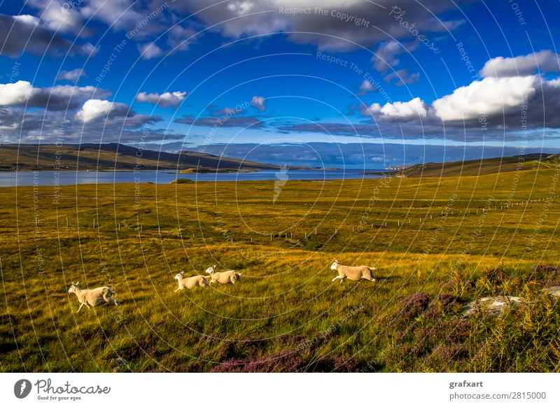 Landscape with flock of sheep at Loch Eriboll in Scotland Atlantic Ocean turniness Escape Great Britain Herd Background picture Coast Lamb Agriculture Walking
