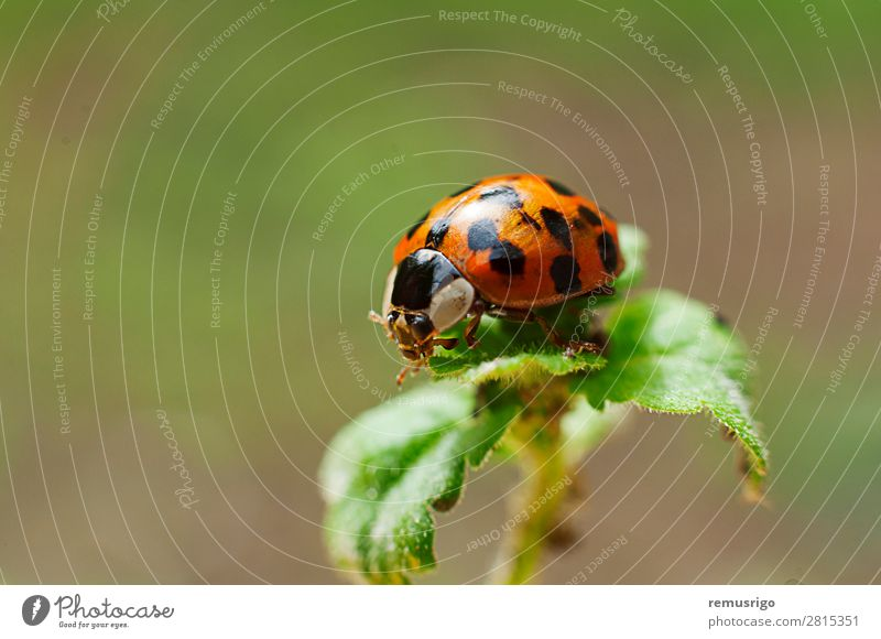 Ladybug Plant Animal Leaf Beetle Red Bug Insect Ladybird Spotted Colour photo Exterior shot Close-up Deserted