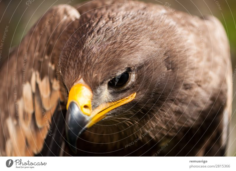 Close-up of a Steppe Eagle Hunting Nature Animal Bird Wild Brown accipitriformes Beak Carnivore chordata Living thing endangered falconry Feather fly Hawk head