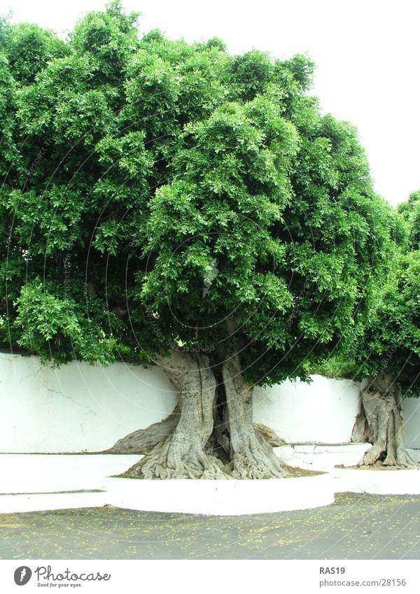 White Tree Green Leaf Tree trunk Treetop Tree hollow