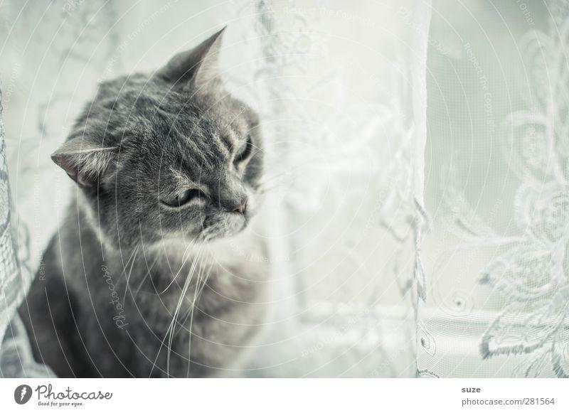 Dorr Schtubndieschorr Window Pelt Animal Pet Cat 1 Authentic Bright Cute Soft Gray Boredom Fatigue Domestic cat Smooth Curtain Window board Animalistic