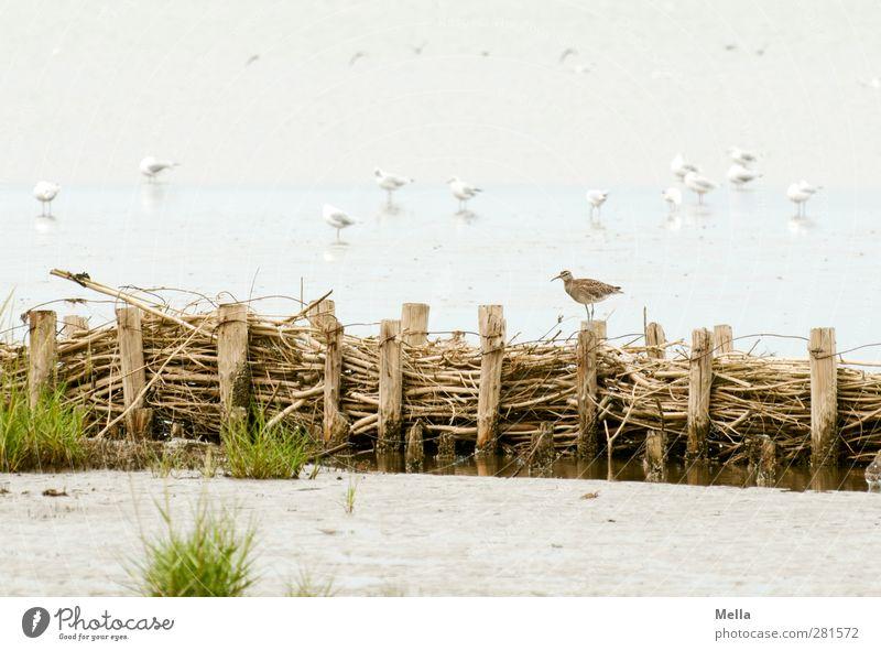maverick Environment Nature Animal Sand Water Coast Beach North Sea Mud flats Bird Gull birds Auks Group of animals Stand Small Natural Wader Exceptional Wood