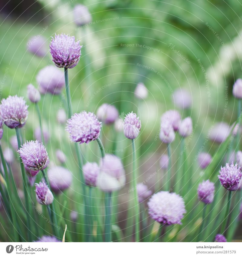 iiiiii Nature Plant Blossom Agricultural crop Garden Blossoming Natural Soft Green Violet Chives Onion Garden Bed (Horticulture) Herbs and spices Delicate