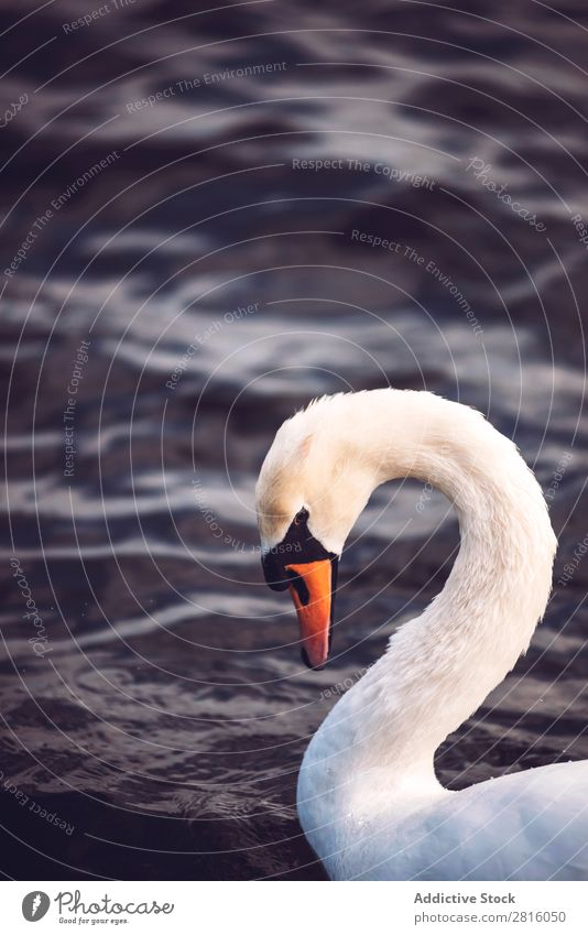 Swan on a lake Lake Bird White Water Nature wildlife Beautiful Animal Purity Park Peaceful England Vacation & Travel Tourism Exterior shot Great Britain