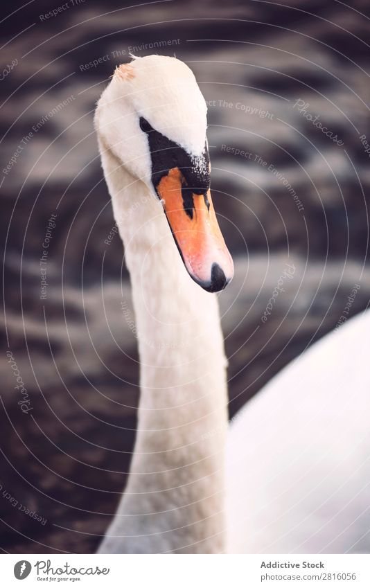 Swan in Hyde Park, London. Lake Bird White Water Nature wildlife Beautiful Animal Purity Peaceful England Vacation & Travel Tourism Exterior shot Great Britain