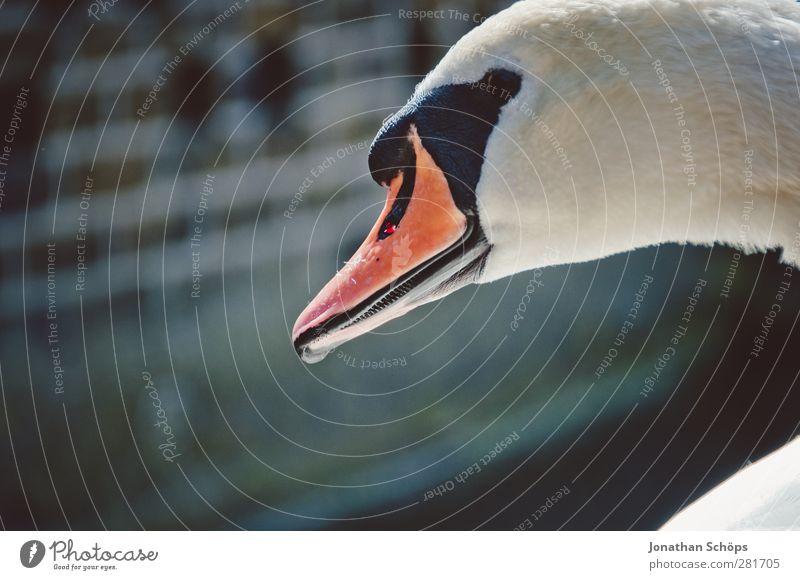 White Beautiful Animal Head Bird Orange Wild animal Elegant Side Swan Beak Pride Purity Majestic Duck birds Royal