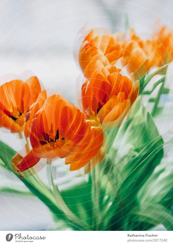 Orange Blossoms Art Nature Plant Spring Summer Autumn Winter Flower Tulip Leaf Bouquet Blossoming Illuminate Beautiful Yellow Green Red Turquoise White