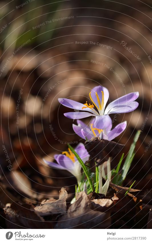 blooming purple crocuses as heralds of spring against a brown background Environment Nature Plant Spring Beautiful weather Flower Leaf Blossom Crocus Garden